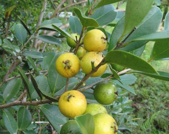 YELLOW Strawberry Guava / Psidium Cattleyanum/Cattleianum - +1 potted plant