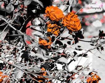 Distinct Rose