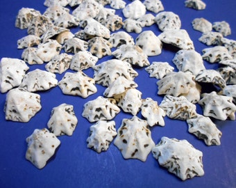 "100 Little Star Limpet Shells Sea shells 1/2-1"" Shellcraft Nautical Beach Crafts"