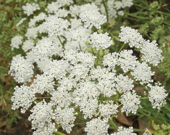 Bishop's Flower ( 500 => 64,000 seeds) False Queen Ann's Lace ammi majus ST#263