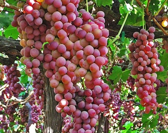 2 Flame - Grape Plant / Vine Red Seedles - September Shipping / Fall Planting