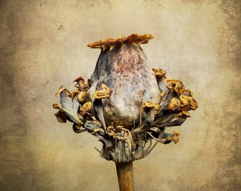 Papaver Somniferum Seed Pod Study  |  30cm x 30cm Fine Art Photographic Print, Flora, Fauna, Painterly, Gold, Textural