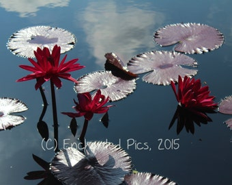 Botanical Photography: Burgundy Water Lilies- nature photography, floral, flower, garden, water lily, burgundy, lily pad, pond