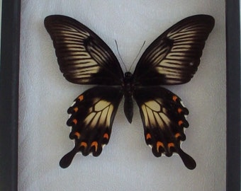 Papilio ascalaphus female real framed butterfly