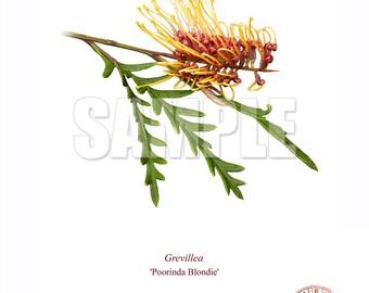 028 Grevillea 'Poorinda Blondie'