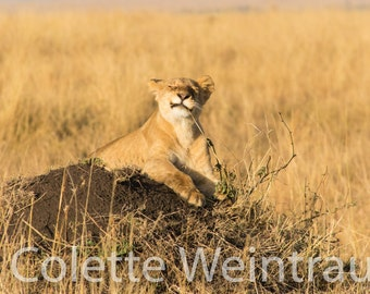 Photo of a Playful Young Lion in Kenya, Africa. Canvas print.