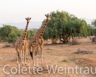 Giraffes in Kenya, Africa. Canvas Print.
