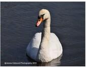Swan Relaxing, Bird Photography, Swan Photography,  Swan Art, Wildlife Photography, Swan Prints, Swan Photo, swan decor, pond photography