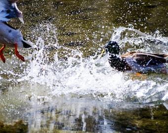 Duck Battle, bird, photo, print, photography, wall art, home decor