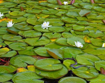 Garter Snake on Water Lilies: Fine Art Nature Photography