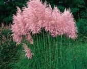 Pink Pampas Grass Seeds/Cortaderia selloana/Perennial   65+