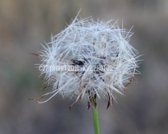 """INSTANT DOWNLOAD stunning Dandelion image 8x10"""" photography"""