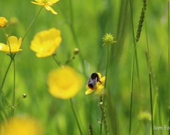 Large Red-Tailed Bumble Bee in Buttercup Field Photograph Print