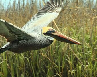 Brown Pelican, Murrells Inlet, SC, South Carolina, Coastal Bird