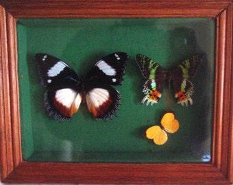 Framed Butterflies from Madagascar
