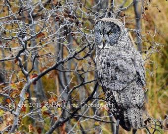 Great Gray Owl #1606