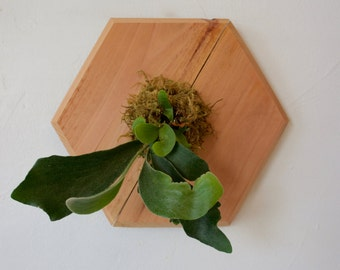 Staghorn Fern on Redwood - Small Hexagon