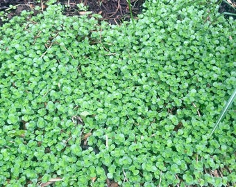 Sedum ground cover