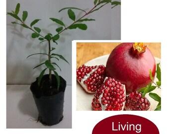Pomegranate Fruit Seedling Plant (Punica Granatum)