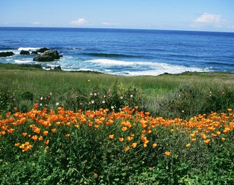 Pacific Ocean Wildflowers Coastal photograph Pacific Valley with the California Poppy   Wild Flowers