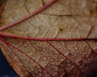 Red  Leaf in Autumn.