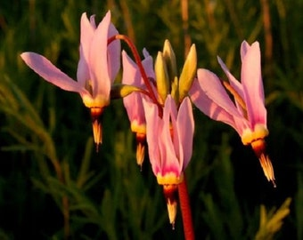25+ Dodecatheon Media Pink Midland Shooting Star / Perennial Flower Seeds