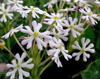 25+ Phlox Midnight Candy Flower Seeds / Perennial