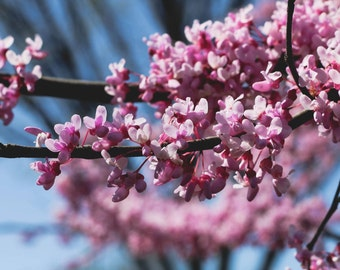 Cherry Blossoms Print, Cherry Blossom Photography, Spring Photography, Washington D.C.