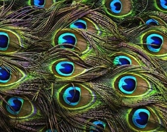 Peacock feathers for your creations