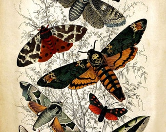 Antique Natural History Reproduction Print of Moths 18th Century