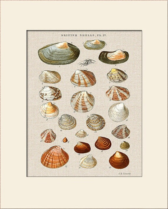 Sea Shell Print, Plate 4, George Sowerby, Art Print with Mat, Natural History Illustration, Wall Art, Nautical Art, Costal Decor