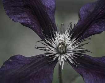 Beautiful Purple Clematis Photography Digital download