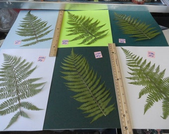 Choose your Real Fern Grown in Alaska Pressed, Preserved, Dried 474 FL