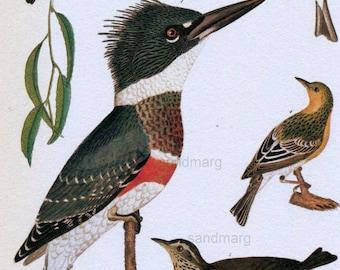 Kingfisher American Ornithology Bird Print Alexander Wilson Nineteenth Century Chart