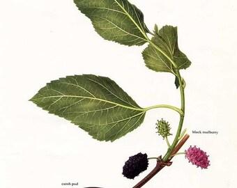 PRINT SALE 20% OFF Vintage Carob Pod, Black Mulberry, Manna Ash Keys Floral, Botanical Health Plants Print for Framing, Medicinal, Herbal Pl
