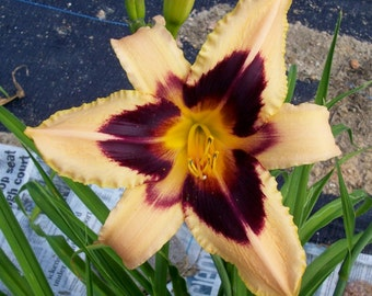 Daylily Plant - Meteor Hit (S-723)