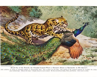 1940s Leopard Print -  Vintage Antique Animal Zoology Zoo Cat Home Decor Book Plate Art Illustration for Framing