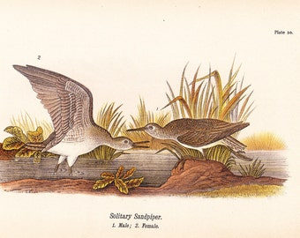 1890 Audubon Bird Print - Solitary Sandpiper - Vintage Antique Book Plate Natural Science or History Lover Great for Framing 100 Years Old
