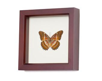 Leopard Lacewing Framed Butterfly Display Walnut