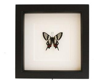 Butterfly Artwork Framed Insect Specimen UV blocking Glass