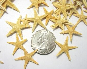 "Beach Decor Large Flat Philippine Starfish - Nautical Decor Flat Brown Starfish, 1.25-1.75"" - 12PC"