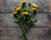 Calendula Mixture, organic seeds, heirloom seeds, flower seeds, natural pest control, organic gardening, companion seeds, herb seed, garden