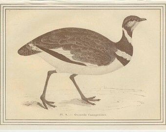 Little Bustard, French Game Bird Antique Bird Print 1884 French Country Cottage Decor Hunting Decor, Home Lodge Decor, Etching Sepia/Gold 9
