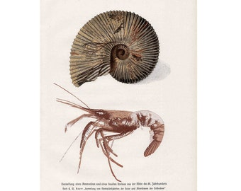1900 SHRIMP and FOSSIL print original antique sea life lithograph
