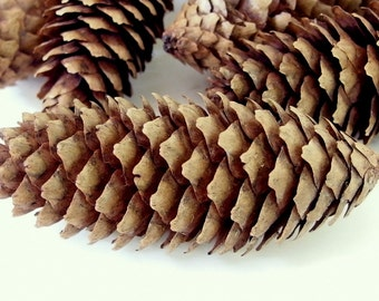 14 Long Pine Cones Medium Length