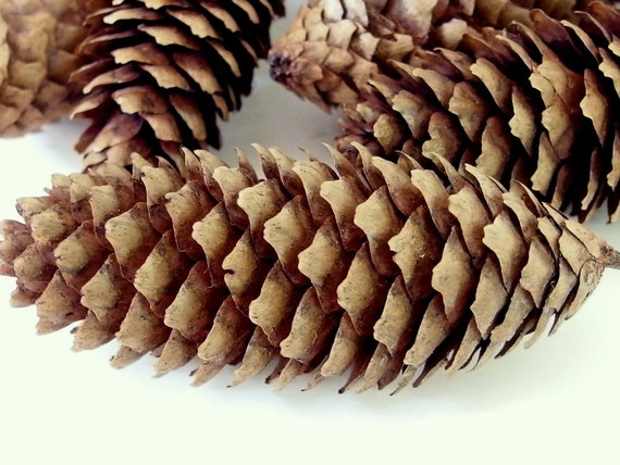 14 long pine cones medium length from bytheinch on etsy studio for Long pine cones