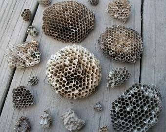 Lot of Wasp Nests