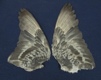 Pair Gray Rock Dove Pigeon Dried Birds Wings Feathers Art Craft Taxidermy