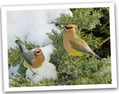 Cedar Waxwing Note Card, Birds In Winter Greeting Card