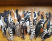 Small Wing Feather Assortment - Lot of 100